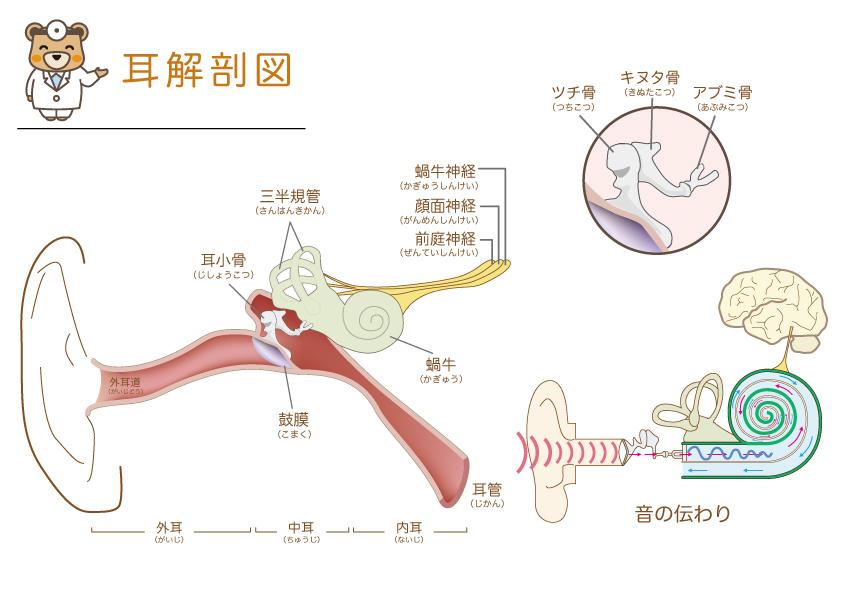 耳解剖図2